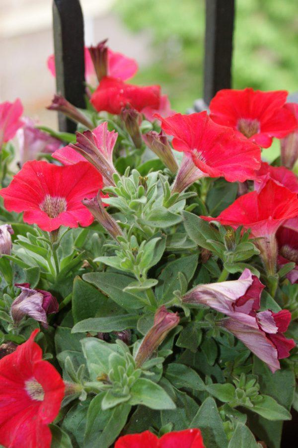 Como cuidar tus plantas arom ticas para cocinar petunias - Flores para cocinar ...